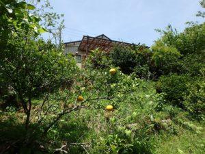 千葉県鴨川市の売別荘 南房総の中古住宅 南総ユニオン株式会社 ここのみかんは甘くて味が濃いです