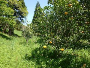 千葉県鴨川市の売地 鴨川市の里山 南総ユニオン株式会社 柑橘系の果樹がいっぱい