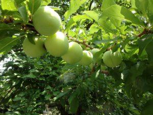 千葉県安房郡鋸南町下佐久間の別荘 南房総の不動産 果樹生活 田舎暮らし 敷地には桃系果樹がどっさり
