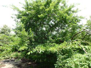 千葉県安房郡鋸南町下佐久間の別荘 南房総の不動産 果樹生活 田舎暮らし 建物前に大きなプラムの樹