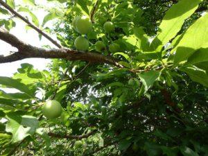 千葉県安房郡鋸南町下佐久間の別荘 南房総の不動産 果樹生活 田舎暮らし すごい数穫れるな
