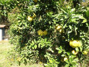 千葉県鴨川市川代の不動産、山林、別荘、キャンプ場用地、この柑橘果樹何でしたっけ